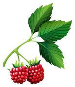 Fresh rasberries with stem - stock illustration