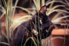 Black tabby cat eating plants - stock photo