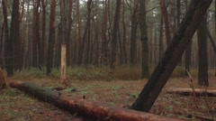Misty Pines Forest with Fallen Trees and Autumn Fog Panorama Stock Footage