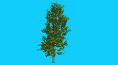 Sourwood Tree is Swaying at The Wind Green Tree Leaves Are Fluttering Crown in - stock footage