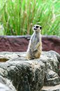 Lovely meerkat surikate. Stock Photos