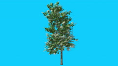 Sourwood Tree With Inflorescences is Swaying Windy Green Tree Leaves Are Stock Footage