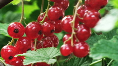 Sprigs large, ripe red currant among the green foliage - stock footage
