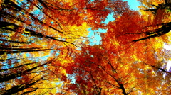 Crown of colorful trees in forest autumn, on a sunny day - stock footage