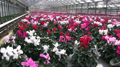 Blossom Cyclamen flowers cultivating in a greenhouse Stock Footage