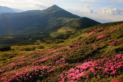 Stock Photo of Ukraine, Chornohora, Carpathian mountains, Hoverla, Rhododendrons Blooming