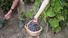 Pickers in vineyard with red grapes in basket Stock Footage