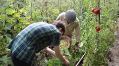 Old man, young man, farmers harvesting green beans, homegrown vegetable Stock Footage