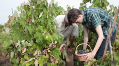 Grandfather, grandson holding a basket full of ripe grapes, harvest, vineyard Stock Footage