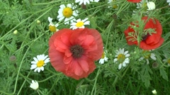Red Poppy In The Grass - stock footage