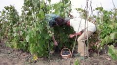 Grape pickers working in vineyard, harvest, crop, basket, ripe fruits, farmers - stock footage