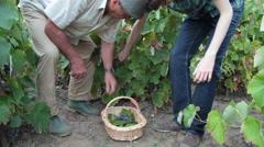 Family, farmers, harvesting ripe grapes, vineyard, fall season, viticulture Stock Footage