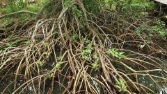 Mangroves forest in Green, camera tilt. Stock Footage