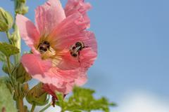 Hollyhock with bumblebees - stock photo