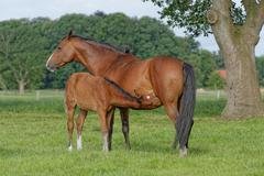 Germany, East Frisia, Mare with foal in pasture Stock Photos
