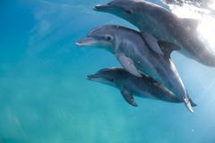 Mozambique, Ponta do Ouro, Three bottlenose dolphins in clear water - stock photo