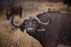 South Africa, Mpumalanga, Ehlanzeni, Bushbuckridge, Kruger National Park, - stock photo