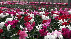 Cyclamen flowers cultivating in a greenhouse - stock footage