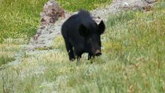 Wild Pigs 4K UltraHD Video Stock Footage