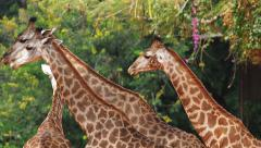 Giraffe Camelopardalis ruminate ,Close-Up. - stock footage