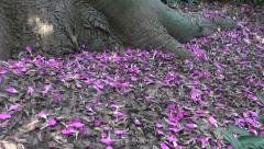 Petals on ground of pink floss-silk tree (Ceiba speciosa) Stock Footage