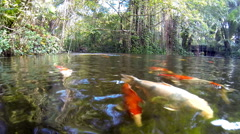 Stock Video Footage of Fancy carp are swimming in a jungle pond or river