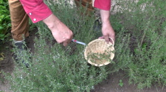 Man gardener herbalist collecting fresh savory in wicker basket Stock Footage