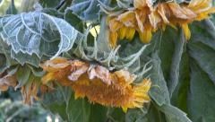 Sunflower plant covered with frost on sunny morning Stock Footage