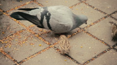 Closeup pigeons and sparrows eat fodder on sidewalk Stock Footage