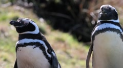 Magellanic Penguin couple Stock Footage