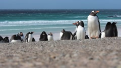 Gentoo Penguins by an azure sea Stock Footage