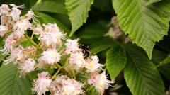 Bumblebee on the chestnut Stock Footage