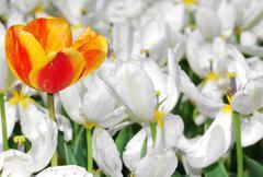 Orange tulip among many white flowers - stock photo