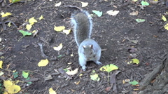 Squirrel nervous shaking tail hopping around the ground next to tree in NYC 1080 - stock footage