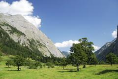 Alpine maple trees Stock Photos