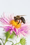 Honeybee at an aster Stock Photos