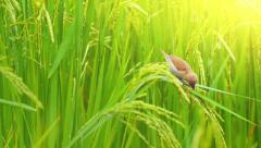 Rice paddy field in rural countryside of Thailand with ripe grains harvest Stock Footage