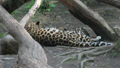 Leopard kitten drinking milk from it's mom. Stock Footage