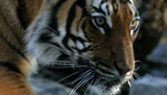 A malayan tiger walking. Stock Footage