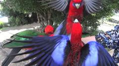 Hand Feeding Group Of Australian Parrots Stock Footage