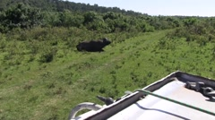 African Buffalo in the middle of the road in Aberdare while driving Stock Footage