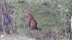 African Leopard cleaning sit looking around and walk into bush Stock Footage