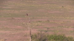 Ballooning over Masai Mara and shot of vultures. Stock Footage