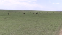 Black Wildebeest and Common Zebra on drive through Masai Mara. Stock Footage