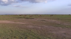 Black Wildebeest and Common Zebra on drive through Masai Mara Stock Footage