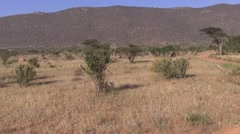 Dwarf Mongoose foraging and Reticulated Giraffe feeding Stock Footage