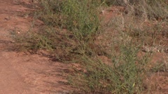 Dwarf Mongoose foraging Stock Footage