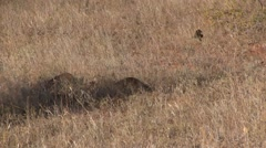 Dwarf Mongoose foraging. Stock Footage