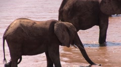 Elephant herd walk in river drinking water 5 Stock Footage