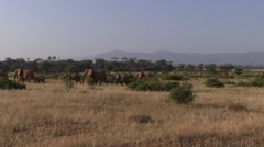 Elephants herd walk in bush in Samburu. Stock Footage
